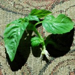 sprouting_basil
