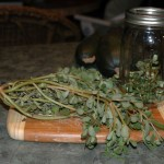 pickling_purslane
