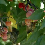 wild_plums2