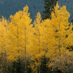 golden_aspens2011b