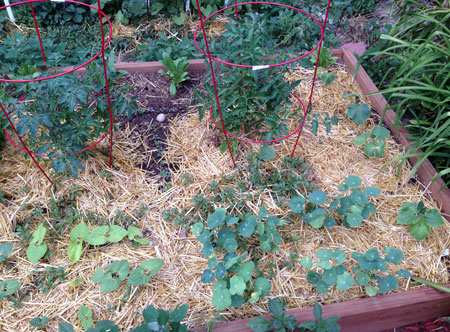 tomatoes&cukes071114